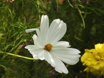Kosmosu kwiat jest delikatnym rośliną który łatwo wypięknia ogród swój wiele kwiatami przez cały lata Zdjęcie Royalty Free