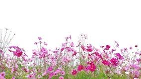 Kosmosu kwiat kwitnie fotografia royalty free