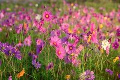 Kosmosu kwiat obszar trawiasty Zdjęcia Stock