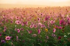 Kosmosu kwiat obszar trawiasty zdjęcie stock