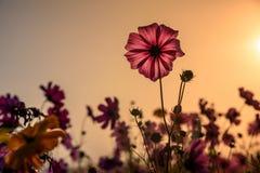 Kosmosu kwiat obszar trawiasty obraz royalty free