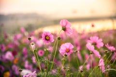 Kosmosu kwiat obszar trawiasty obrazy stock
