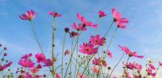 Kosmosu kwiat Siarka kosmos fotografia royalty free