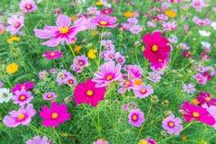 Kosmosu kwiat w ogródzie Obrazy Stock