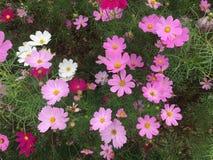 Kosmosu kwiat w ogródzie Zdjęcia Stock