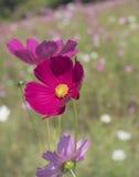 Kosmosu kwiat w ogródzie Obraz Stock