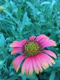 Kosmosu kwiat w ogródzie Obrazy Royalty Free