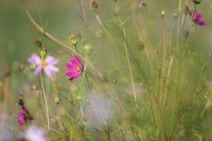 Kosmosu kwiat w zieleni polu Obrazy Stock