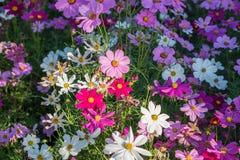 Kosmosu kwiat z ranku światłem słonecznym Obraz Stock