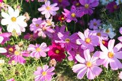 Kosmosu kwiat z ranku światłem słonecznym Fotografia Royalty Free