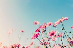 Kosmosu kwiat z rocznika filtrem Zdjęcia Stock