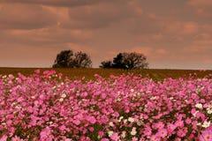 Kosmosu kwiatu łąka Zdjęcie Royalty Free