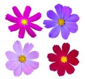 Kosmosu kwiatu kolekcja obraz royalty free