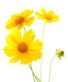 kosmosu kwiatu kolor żółty Fotografia Royalty Free