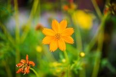 kosmosu kwiatu kolor żółty Zdjęcia Stock