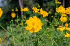 kosmosu kwiatu kolor żółty Obraz Stock