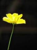 kosmosu kwiatu kolor żółty Zdjęcia Royalty Free