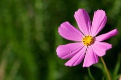 kosmosu kwiatu menchie Zdjęcie Royalty Free