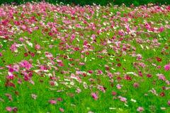 Kosmosu kwiatu pola Zdjęcie Royalty Free
