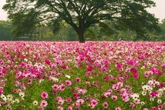 Kosmosu kwiatu pola Zdjęcia Stock