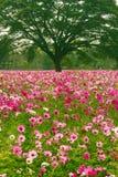 Kosmosu kwiatu pola Fotografia Stock