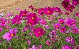Kosmosu kwiatu pole 01 Obrazy Royalty Free