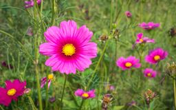 Kosmosu kwiatu pole 04 Zdjęcie Royalty Free