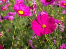 Kosmosu kwiatu pole 05 Obrazy Stock