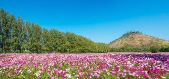kosmosu kwiatu pole Fotografia Stock