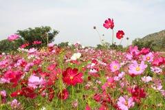 kosmosu kwiatu pole Obraz Royalty Free