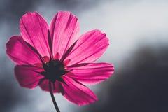Kosmosu kwiatu rocznika styl Fotografia Stock