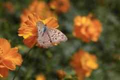 Kosmosu motyl i kwiat Fotografia Royalty Free