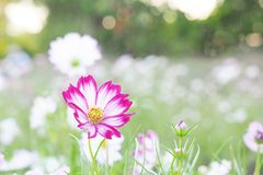 Kosmosu okwitnięcia kwiat Obrazy Stock