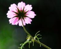 kosmosu piękny kwiat Zdjęcie Stock