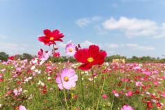 Kosmosu piękny kwiat Obraz Stock