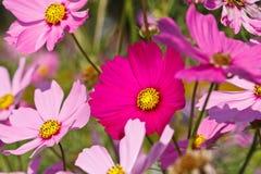 Kosmosy kwitną, kolorowy kwiatu pole w zimie Fotografia Stock