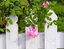 Kostbare Roze Rose Bows Over White Picket-Omheining stock afbeelding