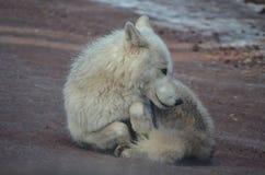 Kostbarer kleiner weißer Wolf Relaxing On ein Strand Lizenzfreie Stockbilder