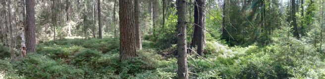 Kostromskoy Forest trees royalty free stock images