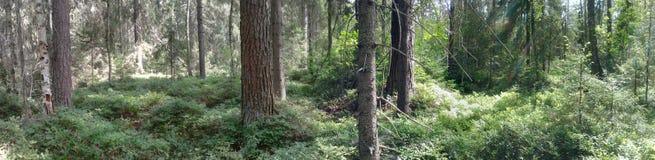 Kostromskoy skogträd royaltyfria bilder
