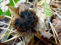 Kostrzewiasta gąsienica na suchym liściu Obraz Royalty Free