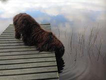 Kostrzewiastego psa woda pitna w jeziorze Obraz Stock