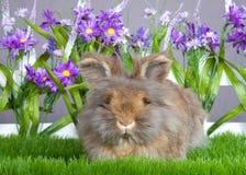 Kostrzewiasty angorski królik w ogródzie Zdjęcia Royalty Free