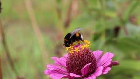 Kostrzewiasty czarny żółty bumblebee zbiory wideo