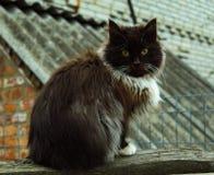 Kostrzewiasty czarny kot zdjęcie royalty free