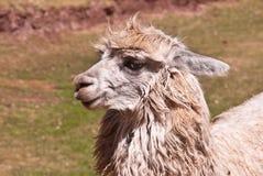 Kostrzewiasty lama portret Zdjęcia Royalty Free
