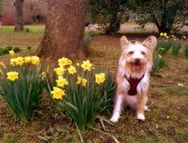 Kostrzewiasty pies ono uśmiecha się z daffodils w parku fotografia royalty free