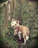 Kostrzewiasty z włosami pies na dziennym spacerze w górę rolnego śladu Obraz Royalty Free