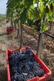 Kosz czerwień winogrona Sangiovese Obrazy Royalty Free