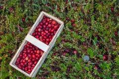 Kosz z świeżymi cranberries na tle cranberry bushe Zdjęcie Stock